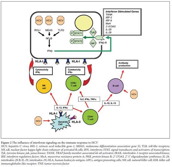 Innate Immunity: A New Chapter For Hepatitis C